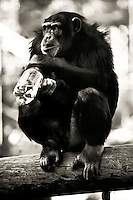 Chimpanzee drinking from water bottle at Oakland Zoo, in Oakland, CA. Copyright 2008 Reid McNally.