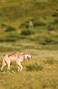 Alaska. Denali National Park. Wolf (Canis lupis)