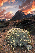 Cushion Buckwheat (Eriogonum ovalifolium) wildflowers counterpoint a dramatic sunset  sky at Sun Point, Glacier National Park, Glacier National Park. Buckwheat flowers are an important foodsource for caterpillars of some butterfly species