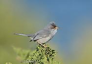 Balearic Warbler - Sylvia balearica