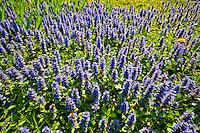 Switzerland. Springtime. Field of purple wild flowers.