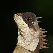 Cross-bearing tree lizard, Acanthosaura crucigera, Keang Krachan National Park, Thailand.