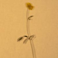 Single flower on tan background
