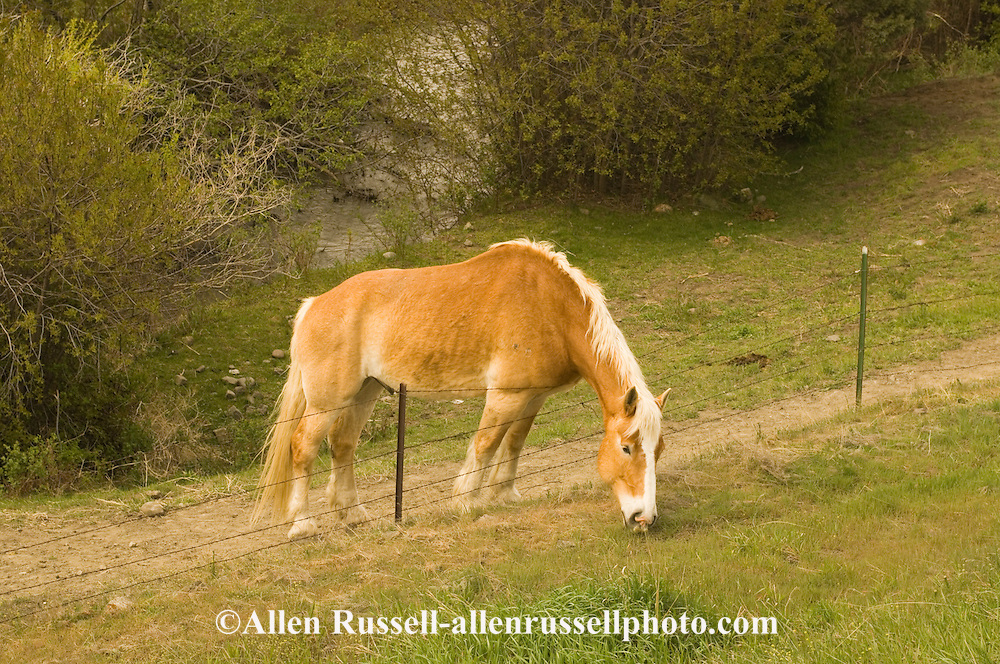 Belgian draft horse (Equus caballus) leans over fence to eat greener grass, west of Livingston Montana