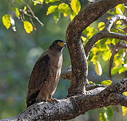 Crested serpent eagle (Spilornis cheela) from Bandhavgarh National Park, Madhya Pradesh, India.