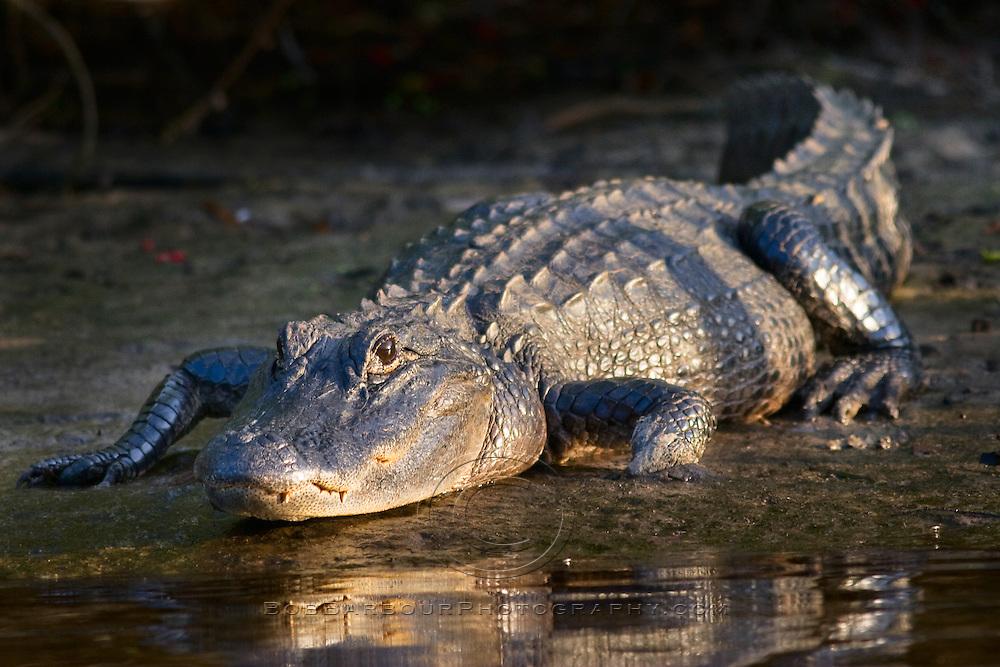 Alligator, alligator mississippiensis, resting on bank of Sebastian River, Florida,