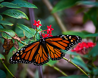 Monarch Butterfly at Selby Gardens in Sarasota, Florida. Image taken with a Nikon D300 camera and 80-400 mm VR lens
