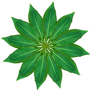 Digitally enhanced image of 12 leaves arranged in a circular design