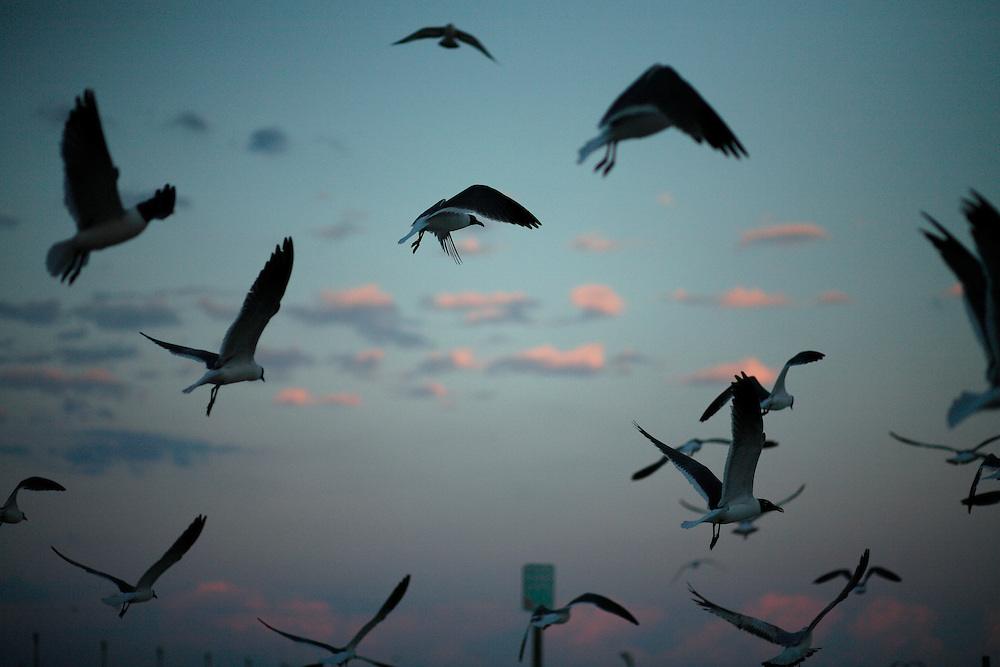 Seagulls flock for food at Wrightsville Beach, NC at sunset.