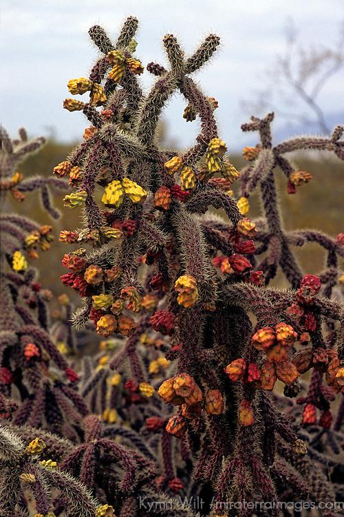 North America, USA, Arizona, Tucson. Saguaro National Park (East). Cholla cactus.