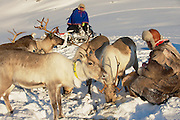 TROMSO, NORWAY - MARCH 28, 2011: Unidentified Saami men bring food to reindeers in deep snow winter, Tromso region, Northern Norway.