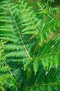 AT5CK1 Pteridium aquilinum bracken fern leaf fronds