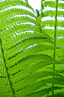 Switzerland. Springtime.  A lovely photo of individual fern leaves interleaving.