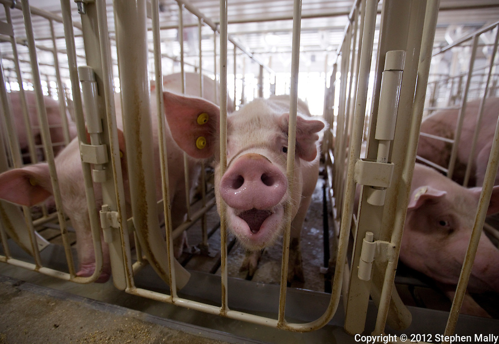 Pigs in a gestation building at Grandview Farms in Eldridge, Iowa on Thursday August 9, 2012.