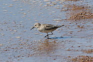 White-rumped Sandpiper photos