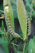 Monarch caterpillars feeding on Butterfly Weed.  This is a stacked multiple focal point picture which allows the entire caterpillar to be in focus.