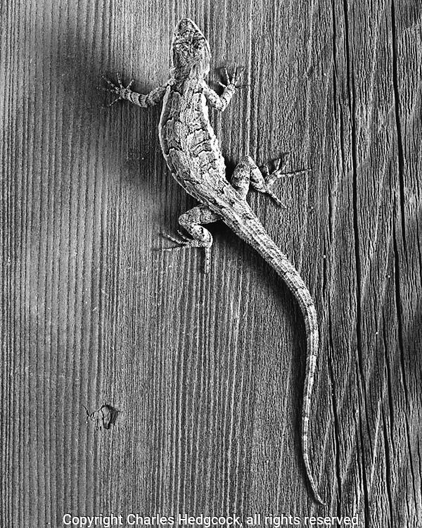 Tree lizard, Urosaurus ornatus, Selenium toned gelatin silver print
