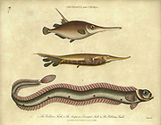 19th century illustration of Centriscus and Cepola fish. Handcolored copperplate engraving From the Encyclopaedia Londinensis or, Universal dictionary of arts, sciences, and literature; Volume IV;  Edited by Wilkes, John. Published in London in 1810