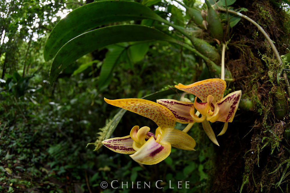 Large blooms of the orchid Bulbophyllum dearei, photographed in its natural habitat in the montane forests of Sayap, northern Mt. Kinabalu.