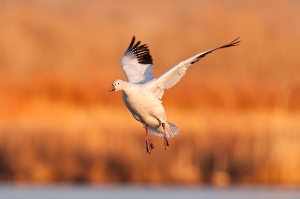 Snow Goose, Chen caerulescens, Bosque del Apache NWR, New Mexico