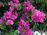 flowers of bougainvillea shrub, deep rose; Florida