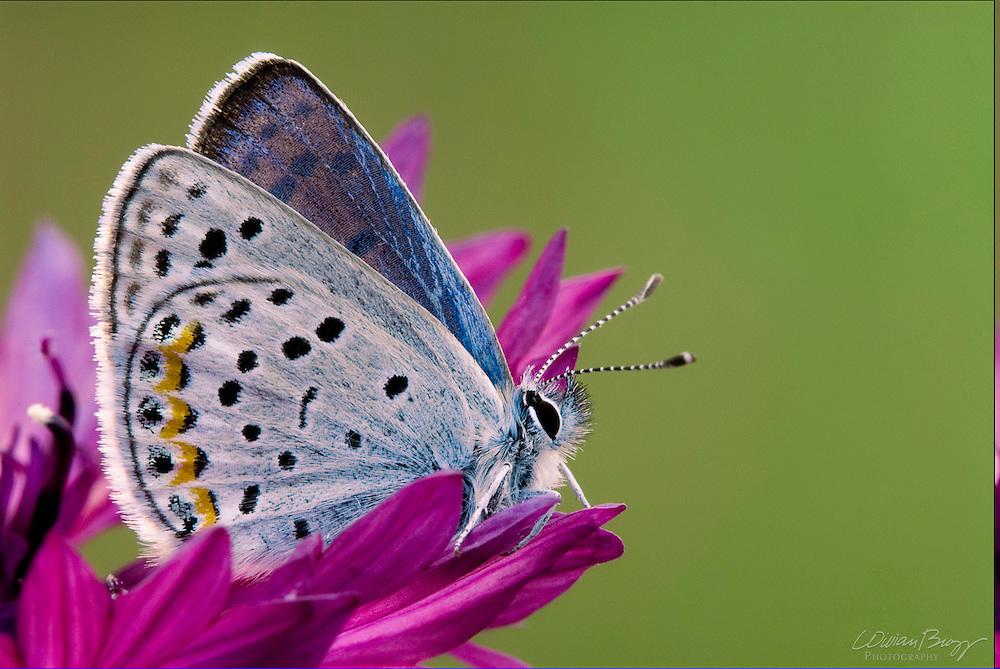 Acmon Blue Butterfly (Plebejus acmon)