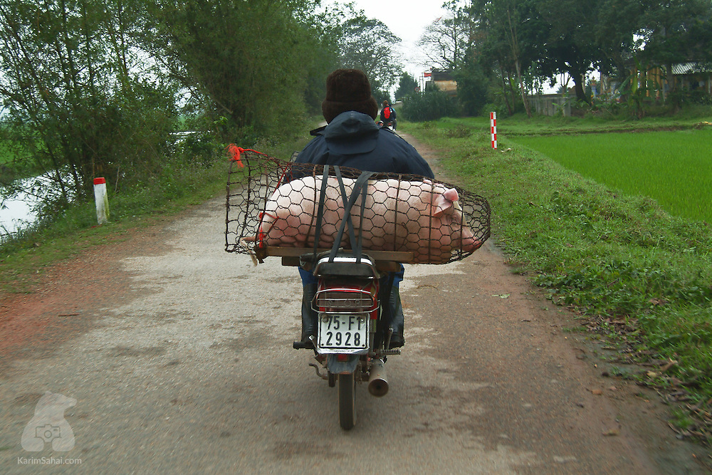 A pig enclosed in a metal wire container is carried on the back of a motorcycle, Hue, Vietnam.