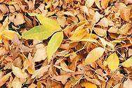 An autumn carpet of Ash leaves