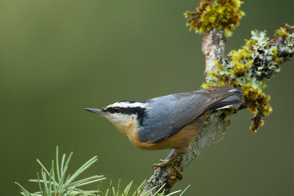 Sitta canadensis, Canada