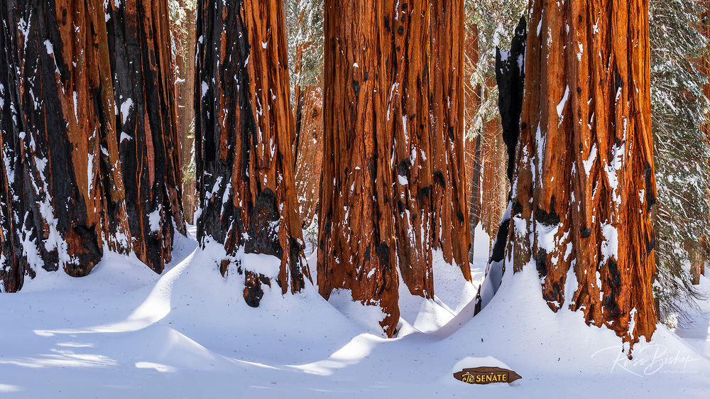 The Senate Group at the Congress Grove in winter, Giant Forest, Sequoia National Park, California USA