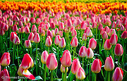 The pink tulips in front of orange and red tulips formed a fun desing that caught my eye.