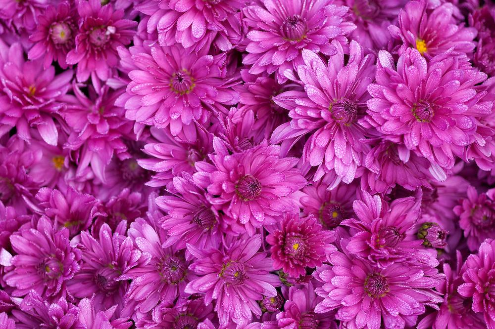 Mums (flower)