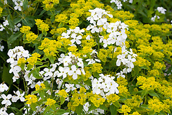 Hesperis matronalis 'Alba' with Euphorbia oblongata