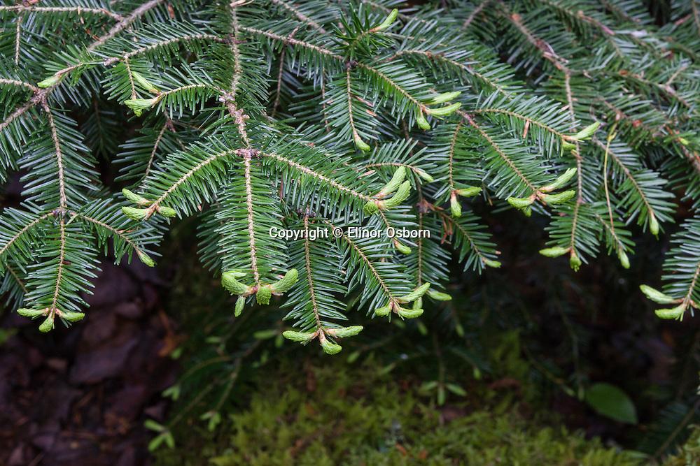 new growth on balsam fir