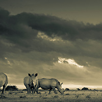 White Rhinos at surnise on the plains of Solio in Laikipia, Kenya