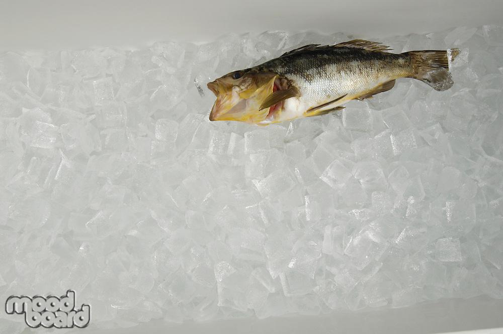One Fish on Ice