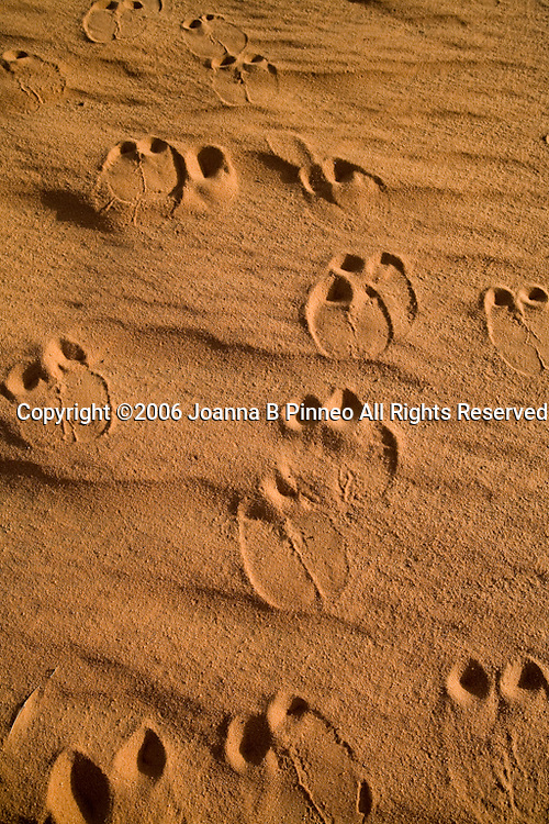 Camel tracks in the red Sahara sand in northern Sudan. 150,000 camels travel to Egypt yearly.