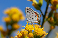 Icaricia acmon (Acmon Blue) at Big Rock Creek, Los Angeles Co, CA, USA, on 09-Sep-18