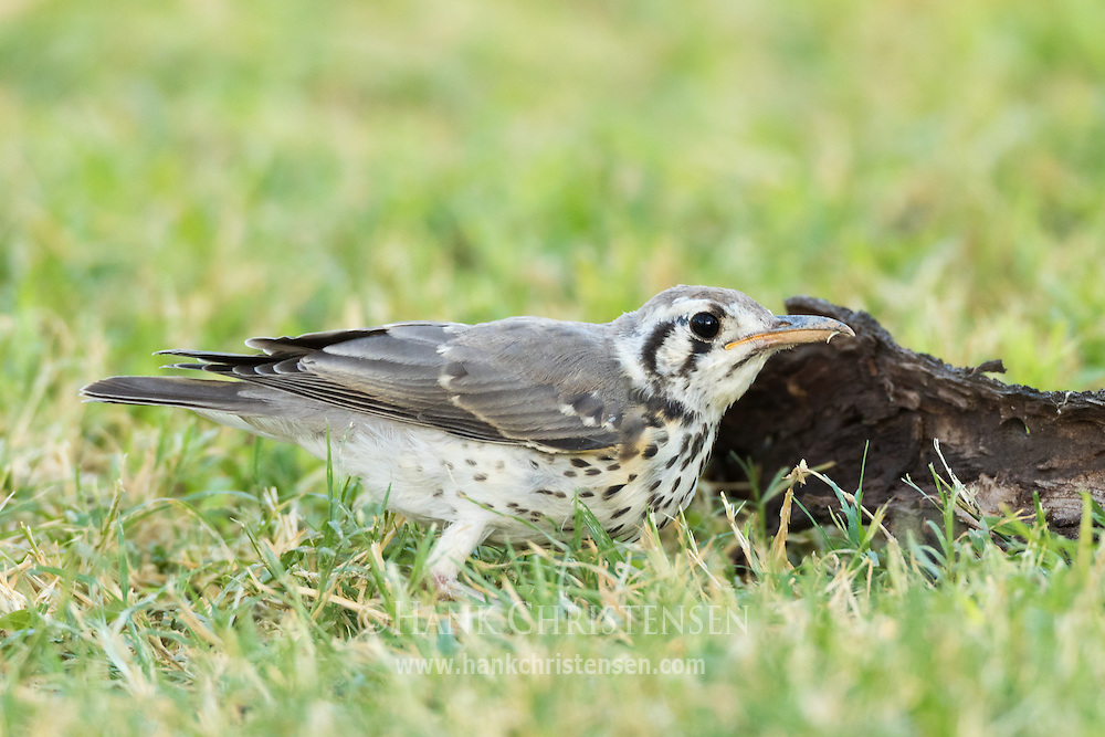 A groundscraper thrush looks for food in short grass, Etosha National Park, Namibia.