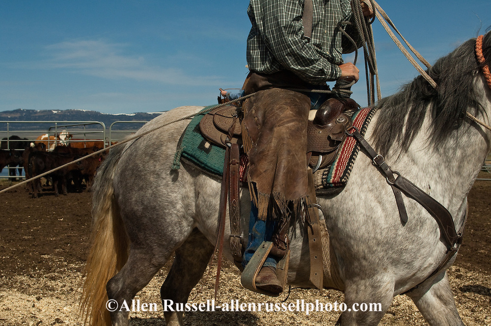 Cowboy ropes and drags calves to the fire to be branded, Wilsall, Montana