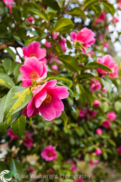 Camellia x williamsii 'Golden Spangles' in a Cumbrian Garden - photographed in March