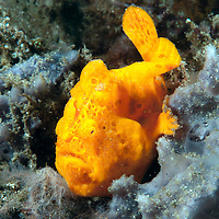 Orange Frogfish on sponge