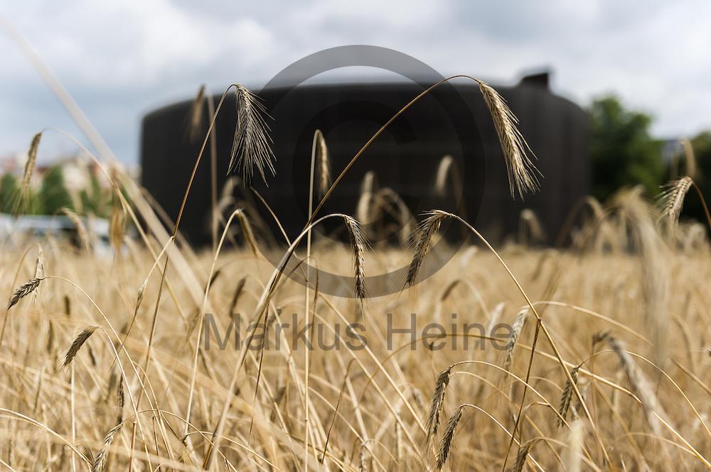 Roggen steht vor der Roggenernte an der Kapelle der Versoehnung am 28.07.2016 in Berlin, Deutschland auf dem Feld. Seit elf Jahren wird das Getreide auf rund einen halben Hektar gro&szlig;e Getreidefeld im ehemaligen Todesstreifen gesaet und geerntet sowie nachhaltig verarbeitet.<br /> Foto: Markus Heine / heineimaging<br /> <br /> ------------------------------<br /> <br /> Veroeffentlichung nur mit Fotografennennung, sowie gegen Honorar und Belegexemplar.<br /> <br /> Bankverbindung:<br /> IBAN: DE65660908000004437497<br /> BIC CODE: GENODE61BBB<br /> Badische Beamten Bank Karlsruhe<br /> <br /> USt-IdNr: DE291853306<br /> <br /> Please note:<br /> All rights reserved! Don't publish without copyright!<br /> <br /> Stand: 07.2016<br /> <br /> ------------------------------