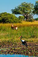 Saddle-billed stork with Red Lechwe (antelope) in background, Kwara Camp, Okavango Delta, Botswana.