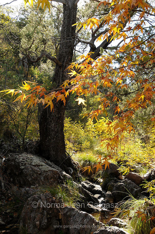 Leaves turn colors in the Fall in Gardner Canyon, Santa Rita Mountains, Coronado National Forest, Sonoran Desert, Sonoita, Arizona, USA.