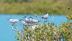 A small flock of Roseate Terns resting in a mangrove (Avicennia marina) in Dampier Creek,  Broome.