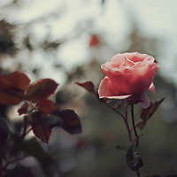 Photograph of a pink rose with background bokeh
