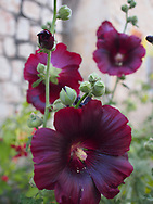 Hibiscus growing in the town of Rosh Pina in the Galilee.