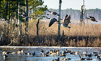 Cnada Geese at Balckwater National Wildlife Refuge, Cambridge, Maryland.