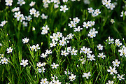 Greater Stitchwort growing, England